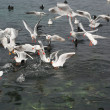 Chaos of sea gulls - Photo
