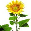 Big sunflower — Stock Photo #1762981