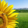 Sunflower and beautiful meadow - Photo