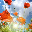 Poppies composition — Stock Photo #2258470