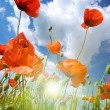 Poppies composition — Stock Photo