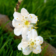 Stock Photo: White flowers of plum