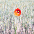 Stock Photo: Poppy in ryfield