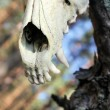 Skull of a predator - Stock Photo