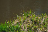 Grass in river — Stock Photo