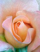 Fresh rose, tenderness — Stock Photo