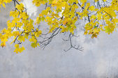 Yellow leaves of a maple — Stock Photo