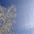 Royalty-Free Stock Photo: Hoarfrost on birch branches
