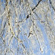 Hoarfrost on birch branches — Stock Photo #1842394