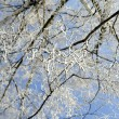 Stock Photo: Hoarfrost on birch branches