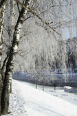 Hoarfrost on birch branches — Stock Photo