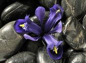 Spring iris in stones — Stock Photo