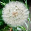 Stock Photo: Big dandelion