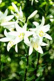 Белая лилия — Стоковое фото