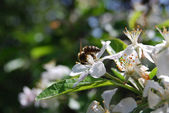 Яблоня — Стоковое фото
