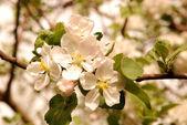 Apple-tree — Стоковое фото