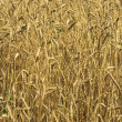 Royalty-Free Stock Photo: Harvest of the golden wheat big field co