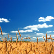 A wheat field against a blue sky - Stock Photo