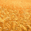 Harvest of the golden wheat — Stock Photo