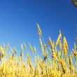 Stock Photo: Golden wheat in the blue sky background