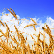 Golden wheat in the blue sky — Stock Photo