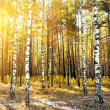Birch trees in a summer forest — Stock Photo