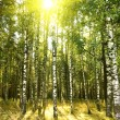 Birch trees in forest — Stock Photo