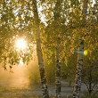 Birch trees in a summer forest — Stock Photo #1107611
