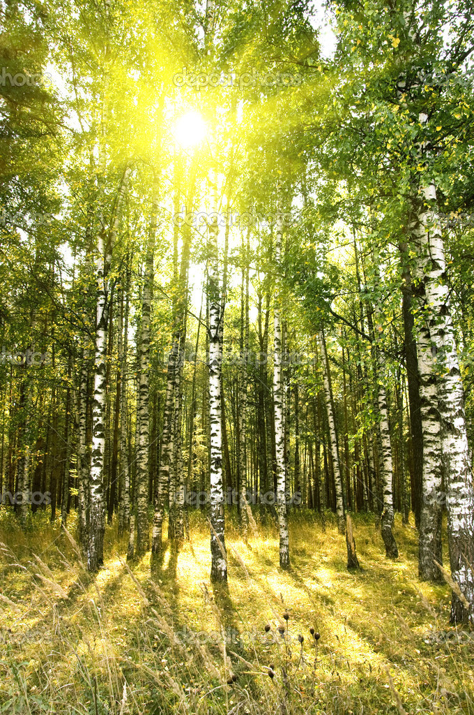 Birch trees in forest — Stock Photo © jordano #1103935