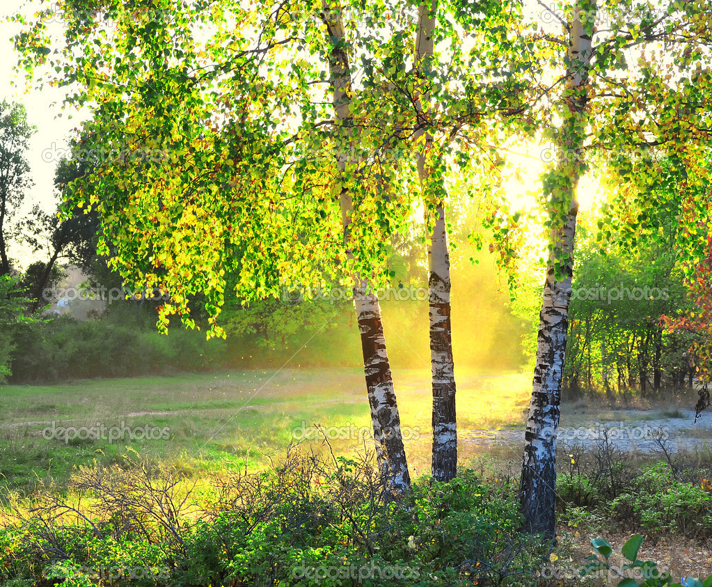 Birch trees in a summer forest bright sunshine  Stock Photo #1107815