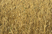 Harvest of the golden wheat big field co — Stock Photo