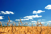 A wheat field against a blue sky — Stock Photo