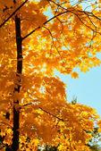Drzewo klon w parku na dzień słońca — Zdjęcie stockowe
