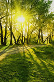 Rays of sun in summer forest — Stock Photo