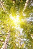 Tree crowns on sunlight blue sky — Stock Photo