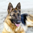German Shepherd dog breed — Stock Photo