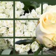 White roses — Stock Photo #1313291