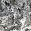 Stock Photo: Branches silvery tree