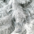 Stockfoto: Branches silvery tree