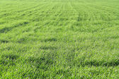 Field with winter wheat — Stock Photo