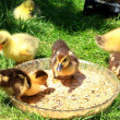 Little wild ducklings — Stock Photo #1351875