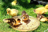 Little wild ducklings — Stock Photo