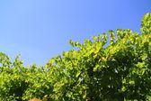 Vine — Stock Photo