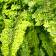 Stock Photo: Fern Nephrolepis