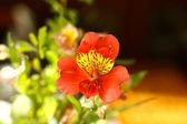 Freesia blossom — Stock Photo