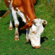 Cow — Stock Photo #1158199