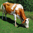 Cow — Stock Photo #1158251