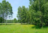 Birch wood — Stock Photo
