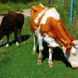 Three cows — Stock Photo #1168739