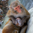 Macaque — Stockfoto #1188039